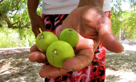foto de la fruta que recolectan las mujeres